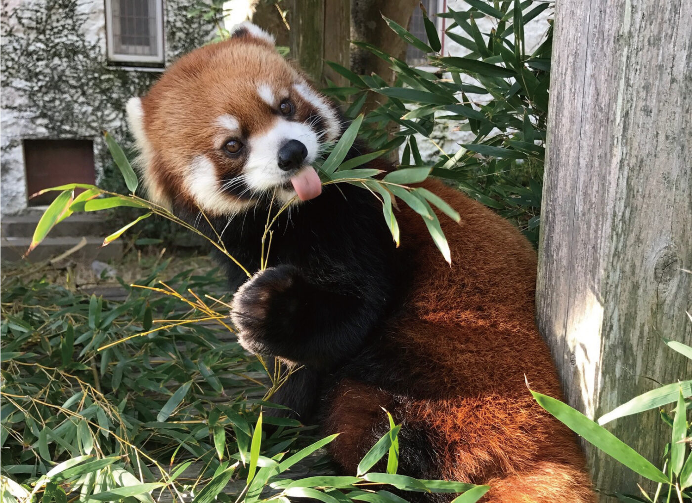 Red panda spotting guide