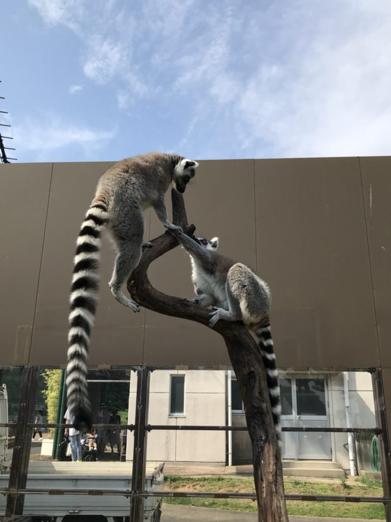 Get close to the Ring-tailed lemur