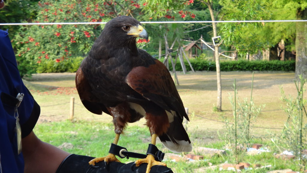 Flight training of Harris Hawk